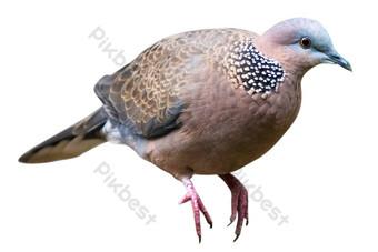 الحمام الطائر الرمادي صور PNG قالب RAW